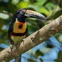COLLARED ARACARI, Rancho Naturalista